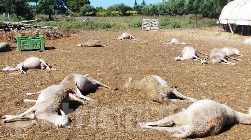 Ηλεία: Δηλητηρίασαν ολόκληρο κοπάδι πρόβατα (φωτογραφία)
