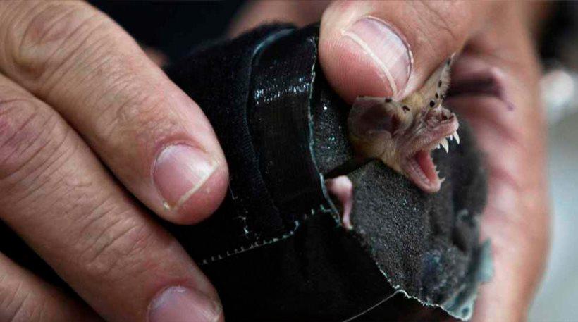 Αμαλιάδα: Συναγερμός στο ΚΕΕΛΠΝΟ για νυχτερίδα που δάγκωσε 60χρονο