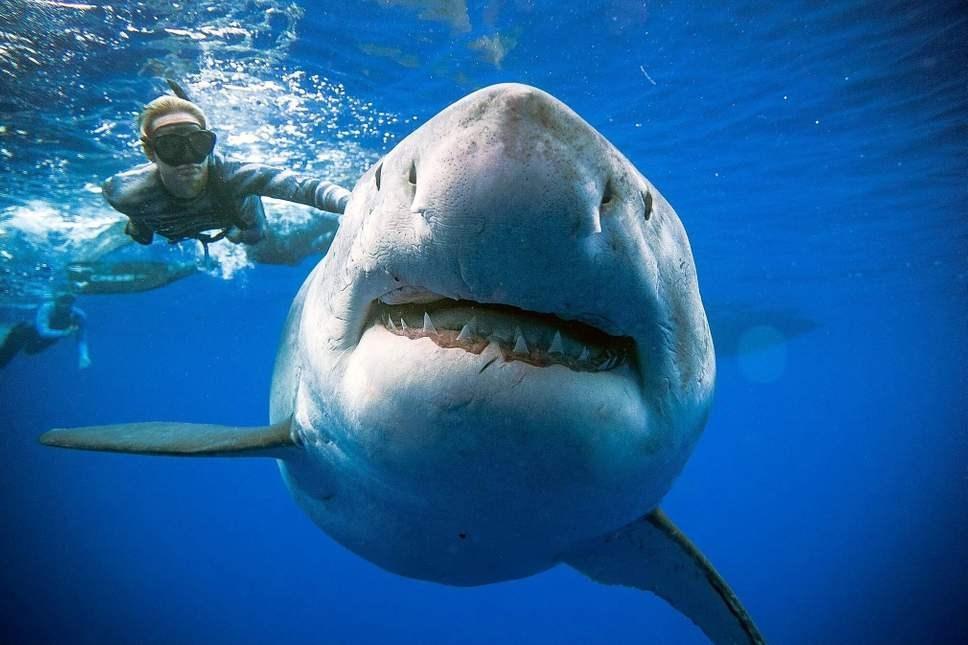 Κολύμπησαν δίπλα στον μεγαλύτερο λευκό καρχαρία που έχει ποτέ καταγραφεί