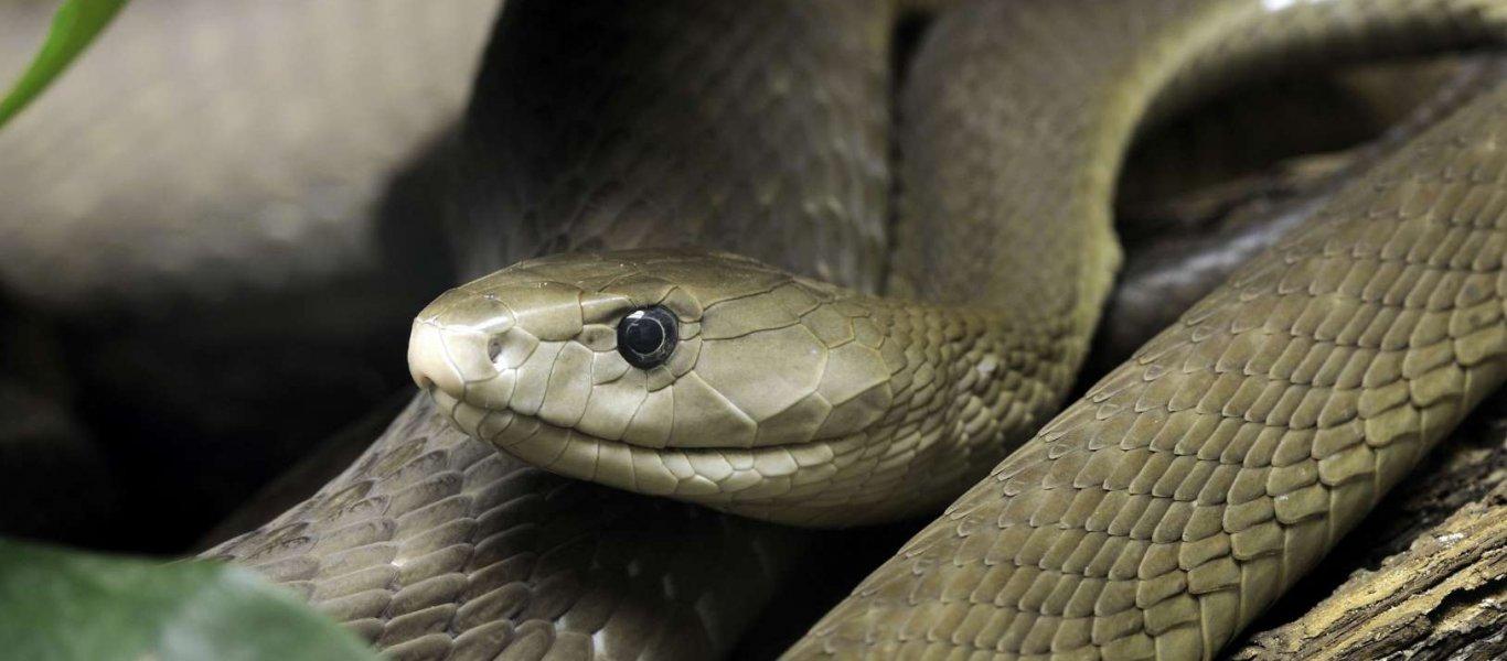 Αυτά είναι τα δηλητηριώδη φίδια της χώρας μας – Οι πρώτες βοήθειες αν σας δαγκώσουν